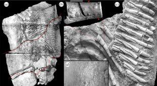 Analiza szkieletu proneustikozaura (Dawid Surmik, Tomasz Szczygielski (CC BY 4.0))