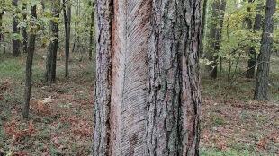 """Tajemnicze """"pióra"""" na drzewach. Wiecie, skąd się wzięły?"""